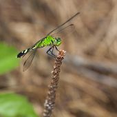 stock photo of dragonflies  - Green dragonfly on a stick that almost has a smirk on its face - JPG