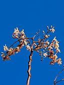 picture of oleifera  - Flowers of Drumstick Tree Moringa oleifera syn - JPG
