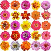 stock photo of marigold  - Big Set of the french marigolds isolated on white - JPG