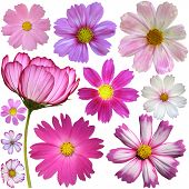 image of cosmos flowers  - Set of cosmos flowers over white background - JPG