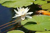 foto of water lily  - The bloom of a single water lily on the water surface of a pond - JPG
