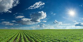 stock photo of soybeans  - Rows of green soybeans against the blue sky and setting sun - JPG