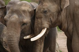pic of indian elephant  - Two Indian elephants  - JPG