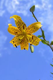 pic of asiatic lily  - A yellow Asiatic lily boasting an inverted bloom that has black spots on yellow petals - JPG