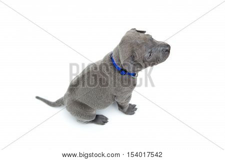 One month old thai ridgeback puppy dog in blue collar sitting. Back with rIdge. Isolated on white. Copy space.
