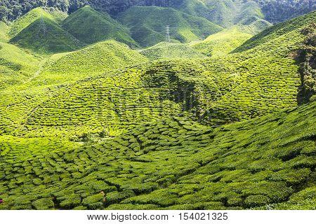 Green tea farm at Cameron Highlands Malaysia