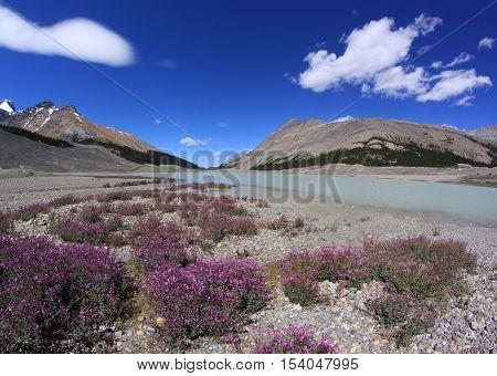 Wild flowers in mountains. Canadian Rockies. Jasper National Park, Alberta, Canada