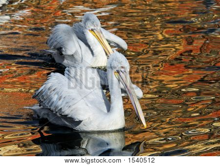 Two Dalmatian Pelican