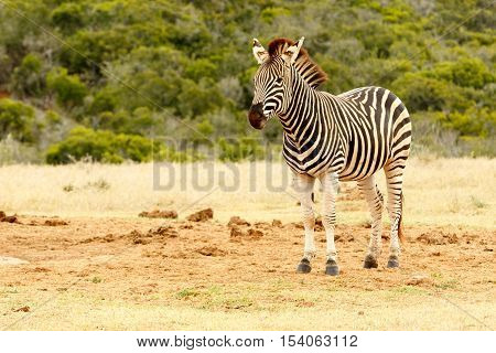 Burchell's Zebra Waiting For A Turn At The Watering Hole