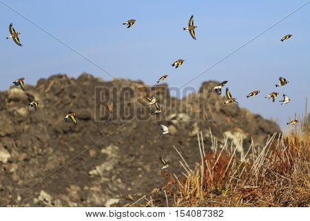 European goldfinch in flight against a background of mountains of sand