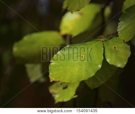 Green linden tree leafs short depth of focus