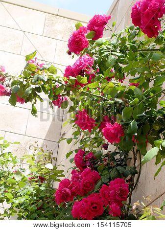 Roses in Bahai garden near Akko Israel May 11 2004