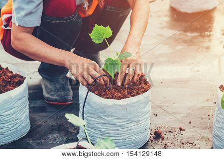 close up hand woman sowing cucumber plant on cocopeat in greenhouse.
