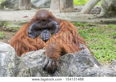 Image of a big male orangutan orange monkey.