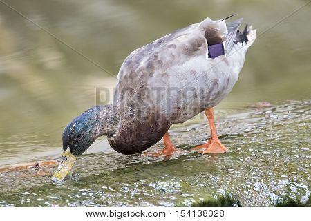 Image of male mallard ducks (Anas platyrhynchos) standing on the water.