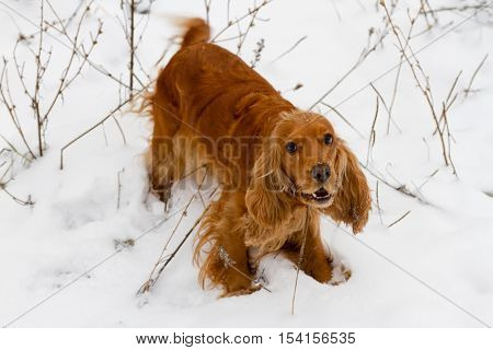 English Cocker Spaniel In The Snow