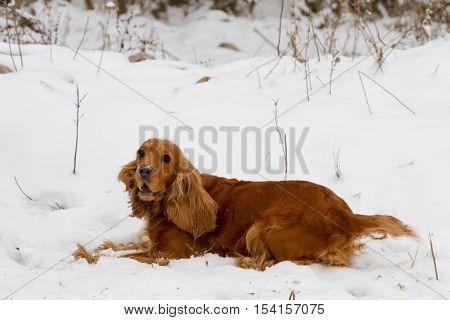 Spaniel In The Snow