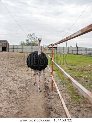 General view of the home flightless birds - African ostrich in captivity