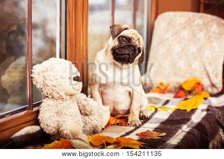 Cute Little Pug Sits On Autumn Windowsill And Looking At The Cam