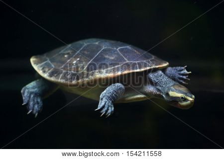 Red-bellied short-necked turtle (Emydura subglobosa), also known as the Jardine River turtle. Wildlife animal.