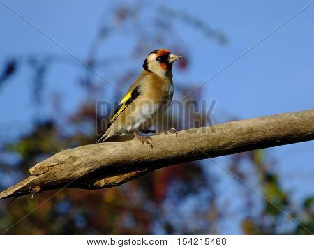 Adult Goldfinch perched on an old tree branch