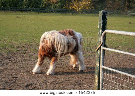 Aged Pony