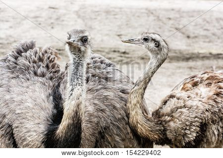 Pair of Emu birds - Dromaius novaehollandiae. Emu is the second-largest living bird by height after its ratite relative the ostrich. Beauty in nature.
