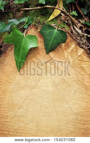 Nature background of ivy leaves over clean cut of a tree trunk