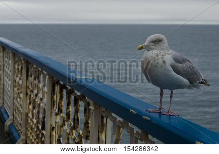 Mean looking standing seagull at the seaside