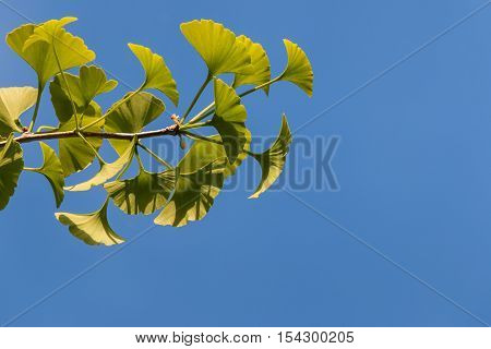 fresh ginkgo leaves against blue sky with copy space