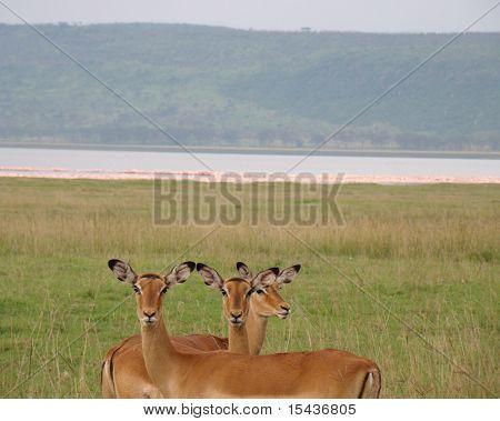 three impala's whit flamingo's at the back