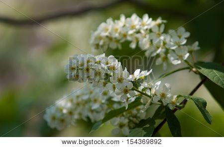 Bird cherry flowers. bird-cherry tree, leaf, bird, season