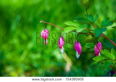 Lamprocapnos Spectabilis. Bleeding Heart. Asian Bleeding-heart. Dutchman's Breeches. Lyre Flower. La