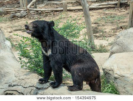 Asiatic black bear  garden, heavy, omnivorous, paw