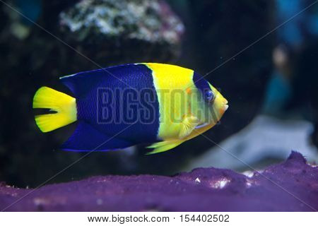 Bicolor angelfish (Centropyge bicolor), also known as the oriole angelfish. Wildlife animal.