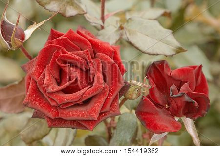 Top view of two red rose flower in garden. Shot toned in vintage color, selective focus blurred background. Wilting rose in the center with copyspace by sides.
