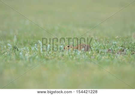 Funny gopher hiding in the grass field