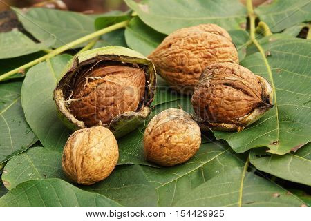 Fresh walnuts lie on walnut leaves in autumn