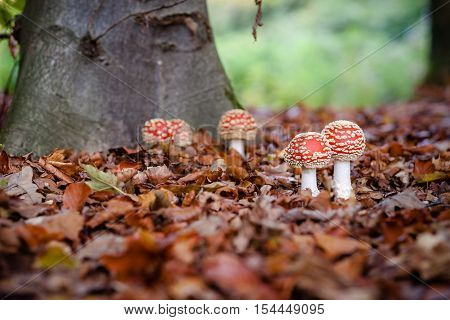 Fly agaric; Amanita muscaria; Two toadstools symbol of luck; White-dotted red mushrooms