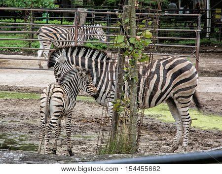 Hartmann's mountain zebra - Equus zebra hartmannae. Animal theme. Mother with cub.