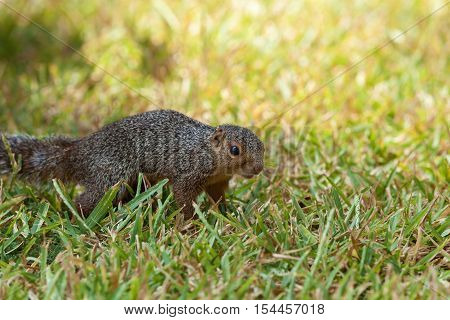 European ground squirrel. European ground squirrel rush about in the grass looking for food.