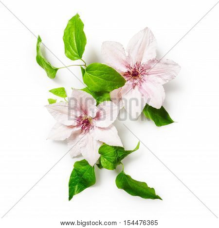 Clematis pink bright flowers bunch isolated on white background clipping path included. Floral design. Top view flat lay