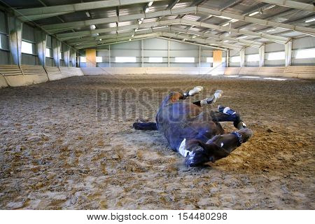 Photo of a saddle horse rolling in the dust at empty riding hall. Note: Visible grain at 100% best at smaller sizes