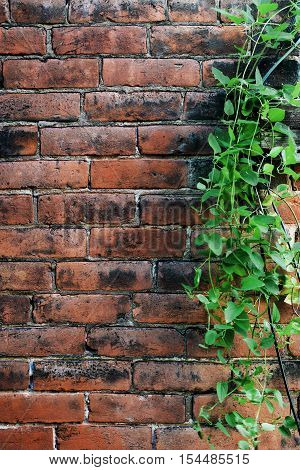 Aged Brick Wall with Leafy Green Vine