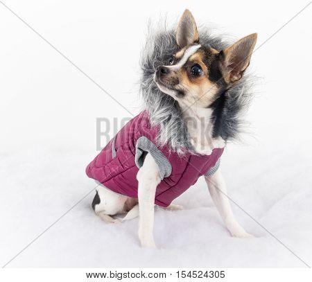 cute chihuahua dog female with winter coat