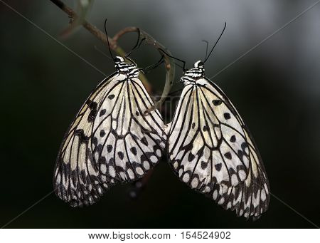 Malabar tree-nymph (Idea malabarica) butterflies mating. Black and white insects from peninsular India in the family Nymphalidae in cop