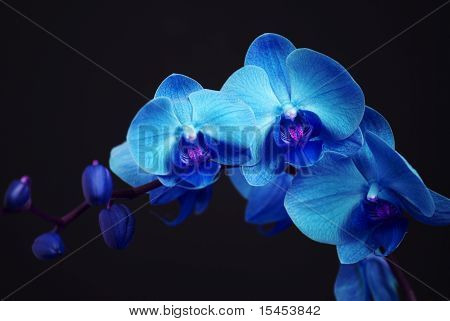 Blue Orchid With Buds