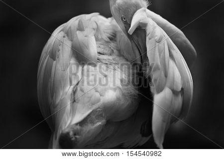 Black And White Flamingo Looking At Camera In Dark Tone