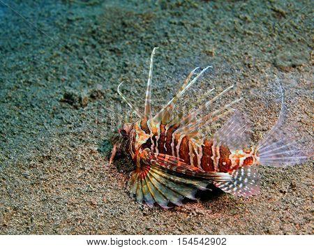 The surprising underwater world of the Bali basin, Island Bali, Puri Jati, scorpionfish