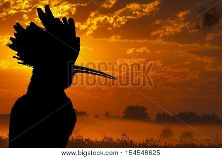 hoopoe silhouette against the background of the misty morning, bird disappears, rare bird, beautiful bird